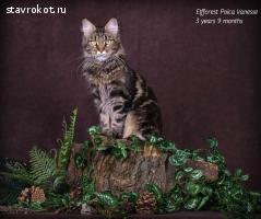 I.Ch. Elfforest Poica Vanesse